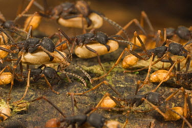 Army Ant (Eciton burchellii) workers carrying pupa while migrating, Barro Colorado Island, Panama  -  Mark Moffett
