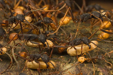 Army Ant (Eciton sp) workers of different sizes carrying pupa while migrating, Barro Colorado Island, Panama  -  Mark Moffett