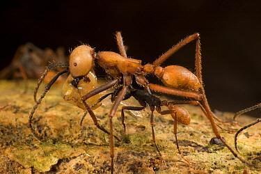 Army Ant (Eciton i) submajor and smaller workers carry food back to colony, Barro Colorado Island, Panama  -  Mark Moffett