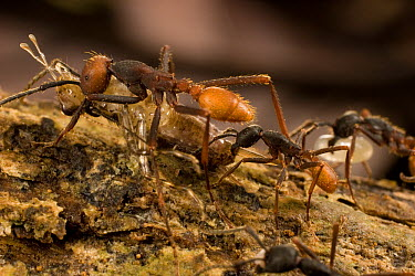 Army Ant (Eciton burchellii) workers of different sizes carry food back to colony, Barro Colorado Island, Panama  -  Mark Moffett
