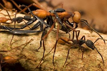 Army Ant (Eciton burchellii) workers carry dead prey back to feed colony, Barro Colorado Island, Panama  -  Mark Moffett