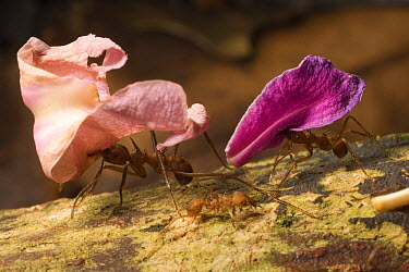 Leafcutter Ant (Atta sp) workers carrying flower petals back to nest, Barro Colorado Island, Panama  -  Mark Moffett
