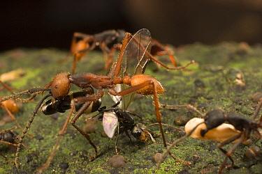 Army Ant (Eciton burchellii) major and minor workers carry dead prey back to feed colony, Barro Colorado Island, Panama  -  Mark Moffett
