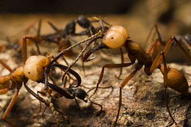 Army Ant (Eciton i) two soldiers or major workers patrolling edge of trail, Barro Colorado Island, Panama  -  Mark Moffett