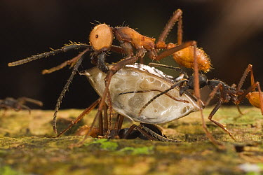 Army Ant (Eciton burchellii) submajor worker carrying section of dismembered centipede back to nest as media worker behind her lifts dragging end, Barro Colorado Island, Panama  -  Mark Moffett