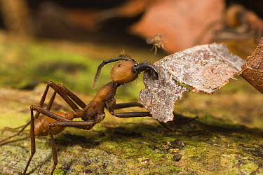 Army Ant (Eciton burchellii) carrying leaf, about to be landed on by tiny parasitic fly which will attempt to lay an egg on the submajor, the egg will then hatch into a larva which will consume the an...  -  Mark Moffett