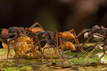 Army Ant (Eciton burchellii) workers carry food back to colony, Barro Colorado Island, Panama  -  Mark Moffett