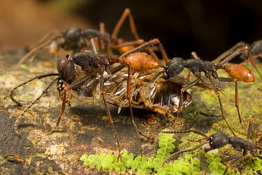 Army Ant (Eciton burchellii) workers carry prey back to feed colony, Barro Colorado Island, Panama  -  Mark Moffett