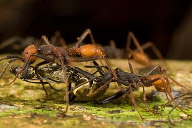Army Ant (Eciton burchellii) workers carry large prey back to feed colony, Barro Colorado Island, Panama  -  Mark Moffett