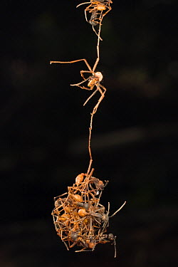 Army Ant (Eciton burchellii) workers linking to one another toe to toe, building a new bivouc for the day, hundreds of thousands of ants will eventaully join in, Barro Colorado Island, Panama  -  Mark Moffett