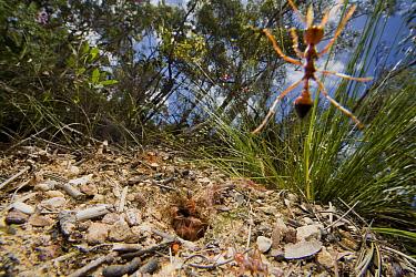 Bulldog Ant (Myrmecia gulosa) workers rushing from nest mound and attacking camera, eastern Australia  -  Mark Moffett
