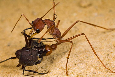 Bulldog Ant (Myrmecia gulosa) worker stinging Carpenter Ant (Camponotus sp) in the neck, eastern Australia  -  Mark Moffett
