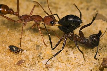Bulldog Ant (Myrmecia gulosa) worker carrying Carpenter Ant (Camponotus sp) prey, eastern Australia  -  Mark Moffett