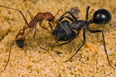 Bulldog Ant (Myrmecia gulosa) worker grabbing Carpenter Ant (Camponotus sp) in the face, eastern Australia  -  Mark Moffett