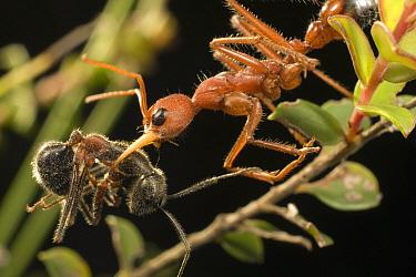 Bulldog Ant (Myrmecia gulosa) worker carrying Carpenter Ant (Camponotus sp) prey back to nest, eastern Australia  -  Mark Moffett