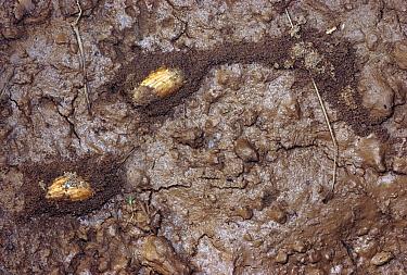 Marauder Ant (Pheidologeton affinis) beneath covered trails (arcades) to harvest nuts, Malaysia  -  Mark Moffett