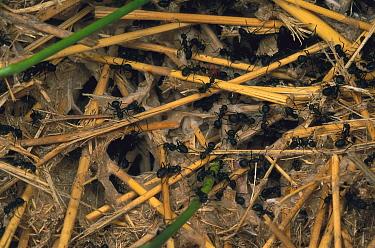 Israeli Weaver Ant (Polyrhachis simplex) group inside silk nest  -  Mark Moffett