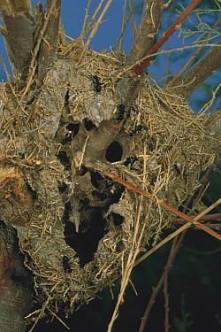 Israeli Weaver Ant (Polyrhachis simplex) nest made of grasses and silk  -  Mark Moffett