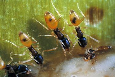 Ghost Ant (Tapinoma melanocephalum) trio, a global invasive species, Galapagos Islands, Ecuador  -  Mark Moffett