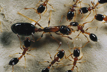 Pharaoh Ant (Monomorium pharaonis) queen and minor workers, a global invasive species, Florida  -  Mark Moffett