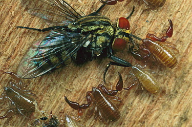 Pseudoscorpion group catching fly, La Selva, Costa Rica  -  Mark Moffett