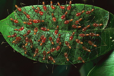 Assassin Bug (Reduviidae) group in a protective cycloalexic formation, in a circle with heads facing outward, Peru  -  Mark Moffett