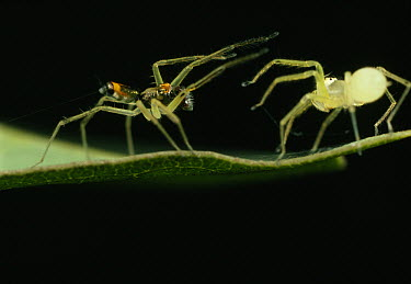 Jumping Spider (Asemonea tenuipes) colorful male and pale female on leaf performing courting and mating ritual, Sri Lanka  -  Mark Moffett