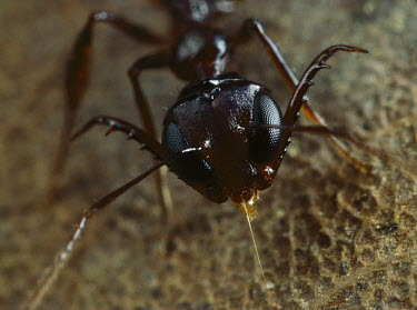Antler Jawed Ant (Myrmoteras barbouri) with mandibles spread, Singapore  -  Mark Moffett