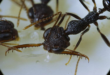 Antler Jawed Ant (Myrmoteras toro) with one mandible cocked, Lore Lindu National Park, Sulawesi, Indonesia  -  Mark Moffett
