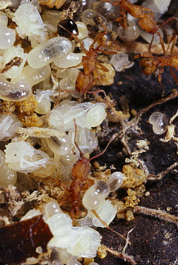 Ant (Proatta sp) workers tending to eggs and young in brood area, Singapore  -  Mark Moffett