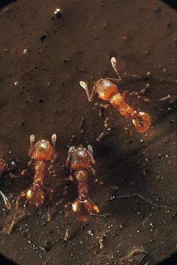 Ant (Wasmannia sp) trio, an invasive species on the islands, Galapagos Islands, Ecuador  -  Mark Moffett