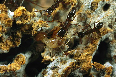 Driver Ant (Dorylus sp) workers investigating a termite fungus garden presented to them in an experiment in Gashaka, Nigeria  -  Mark Moffett