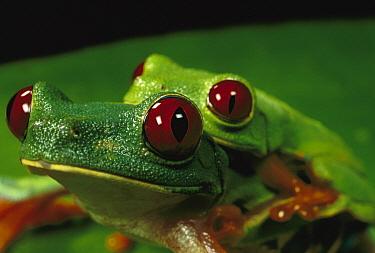 Red-eyed Tree Frog (Agalychnis callidryas) pair in amplexus, Soberania National Park, Panama  -  Christian Ziegler