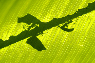 Leafcutter Ant (Atta columbica) shadow of ants carrying leaves seen through leaf, Barro Colorado Island, Panama  -  Christian Ziegler