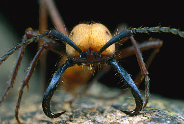 Army Ant (Eciton hamatum) portrait of a soldier with large mandibles, Barro Colorado Island, Panama  -  Christian Ziegler