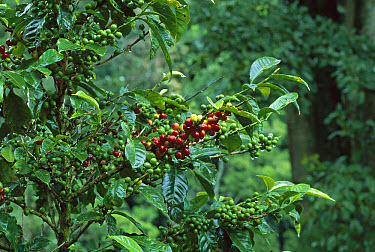 Shade-grown coffee is protected by natural forest trees, highlands of western Panama  -  Christian Ziegler
