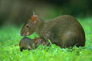 Agouti (Dasyprocta punctata) parent with young, Barro Colorado Island, Panama  -  Christian Ziegler