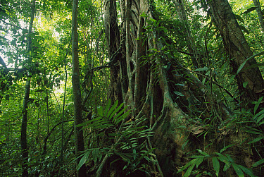 Rainforest interior showing lush vegetation trees with buttressed roots, Panama  -  Christian Ziegler