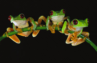 Red-eyed Tree Frog (Agalychnis callidryas) three males sitting on a stem, Soberania National Park, Panama  -  Christian Ziegler