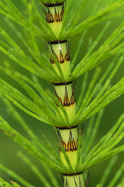 Horsetail (Equisetum sp) close-up detail, Jasmund National Park, Ruegen, Germany  -  Christian Ziegler