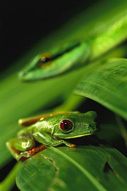 Parrot Snake (Leptophis ahaetulla) approaching Red-eyed Tree Frog (Agalychnis callidryas), Soberania National Park, Panama  -  Christian Ziegler