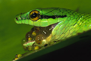Parrot Snake (Leptophis ahaetulla) eating egg clutch of Red-eyed Tree Frog (Agalychnis callidryas) tadpoles hatching, Soberania National Park, Panama  -  Christian Ziegler