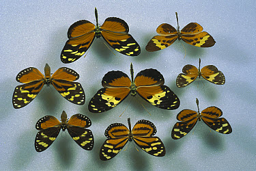 Six species of butterfly and two species of moth, all members of the (Heliconius ismenius) batesian mimicry ring, the (Heliconius ismenius clarescens) in the middle is considered the original model of...  -  Christian Ziegler