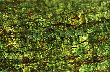 Walking Stick (Bacteria poliuria) camouflaged against moss-covered tree trunk, Central America  -  Christian Ziegler