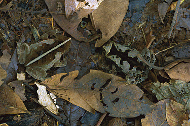 Leaf Litter Toad (Bufo typhonius) pair camouflaged in leaf litter, Amazonia  -  Christian Ziegler