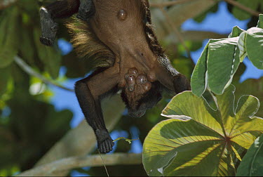 Mantled Howler Monkey (Alouatta palliata) infested with Bot Fly (Alouattamyia baeri) which only host on Howlers, warbles show air hole through which the larvae breathe, Barro Colorado Island, Panama  -  Christian Ziegler