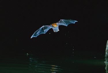 Greater Bulldog Bat or Fishing Bat (Noctilio leporinus) hunting insects near water surface, Barro Colorado Island, Panama  -  Christian Ziegler