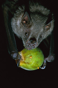 White-throated Round-eared Bat (Tonatia silvicola) eating a Fig, Barro Colorado Island, Panama  -  Christian Ziegler