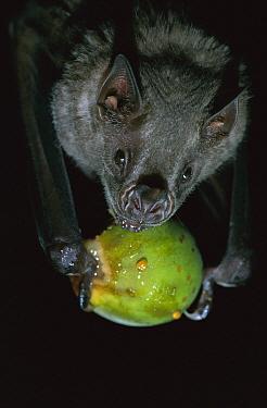 White-throated Round-eared Bat (Tonatia silvicola) eating a Fig, Barro Colorado Island, Panama  -  Christian Ziegler
