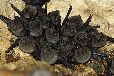 Jamaican Fruit-eating Bat (Artibeus jamaicensis) colony roosting in cave, Barro Colorado Island, Panama  -  Christian Ziegler